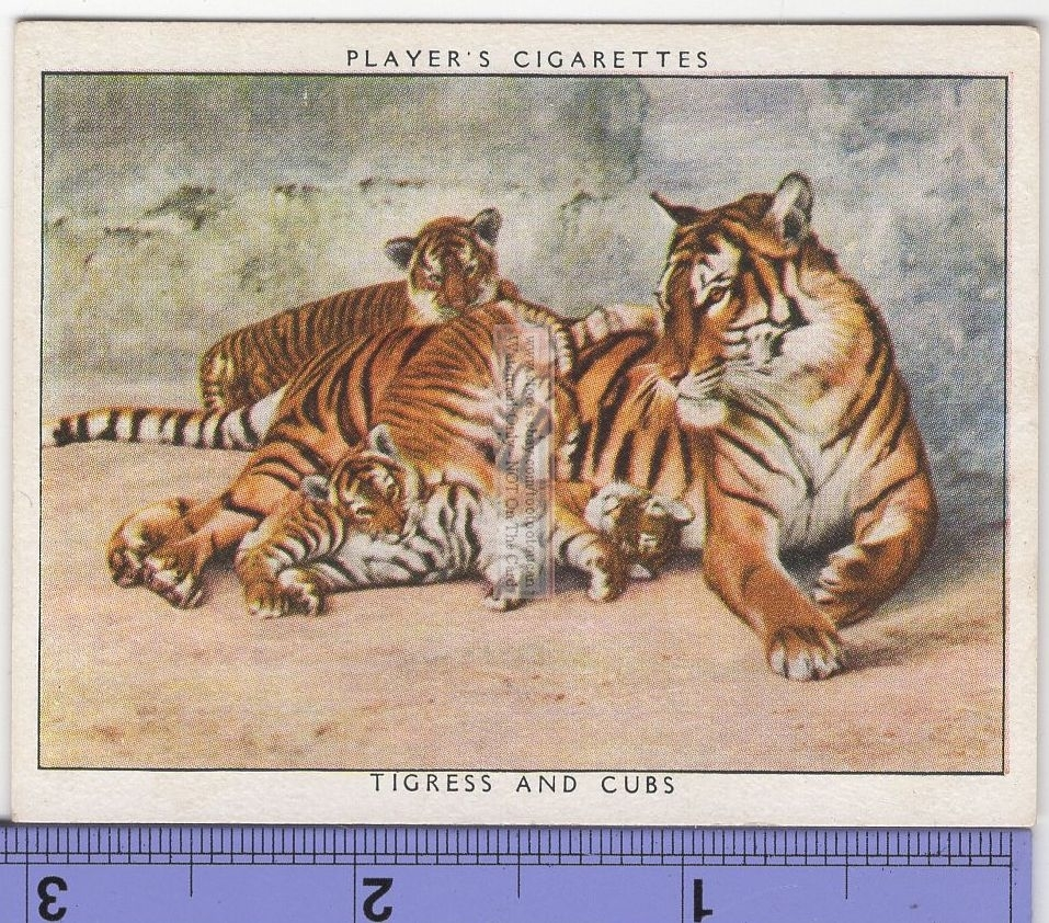 ART POSTER~Mother Love 1997 Tigress and Cub Printed In England Wild Tiger Print~